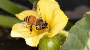 Honeybeepollinatingcrops